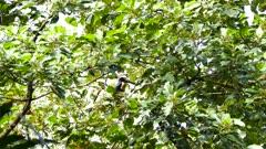Toucan (collared aracari) feeding in fruit tree in Panama