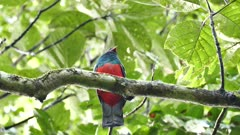 Trogon with bright red breast stands in wide leaf tree