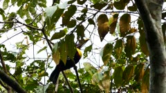Flamboyant chestnut mandibled toucan hopping in tree
