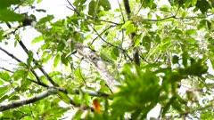 Beautiful collared aracari in tree in Panama