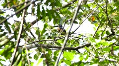 Red and yellow colored toucan in Panama eating fruits