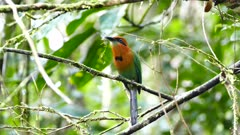 Motmot in Panama finishing to eat with strain of grass