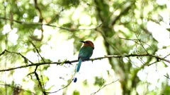 Motmot perched with bright background in Panama
