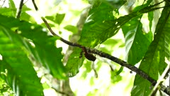 Bird investigating branch with loose bark in Panama