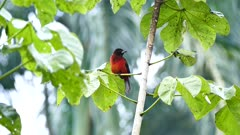 Crimson backed tanager on tropical blurry palm tree background