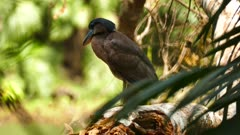 Beautiful boat-billed heron perched on large broken tree trunk