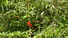 Summer tanager taking off from a small liana at low ground level