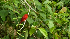 Tight shot of summer tanager red bird in stunning red