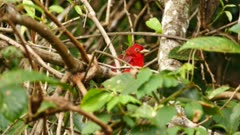 Close view of summer tanager bird standing in dense bush