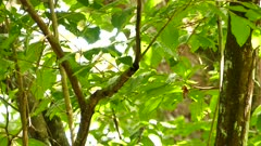 Striking black and white warbler jumping around in jungle