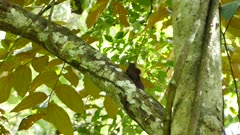 Wood creeper grooming on mature jungle tree and takes off