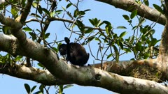 Howler monkey eating fruit off a tree and scratching on clear day