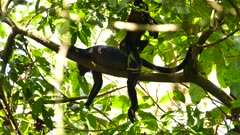 Young monkey scratching while hanging upside down near parent