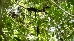 Groupe of howler monkeys in Panama resting atop tree in the sun