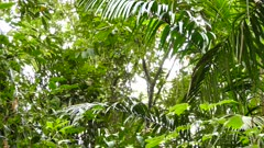Wide view of multiple jungle trees with white headed capuchin