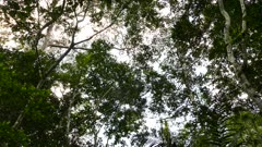 Monkey walking far up large tree's canopy in Panama forest