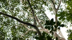 Monkey with black and white fur run and walks along tropical tree
