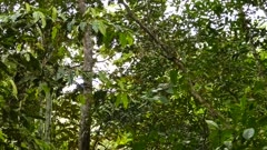 Long tracking shot of white headed capuchin climbing up a tree