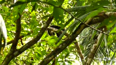 Camouflaged white headed capuchin moving in dense jungle