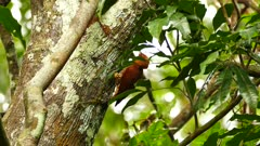 Woodpecker bird seen through leaves in Panama forest