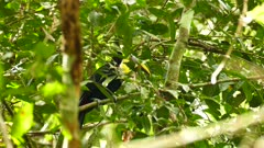 Beautiful exotic toucan in Panama moving head behind leaves