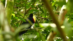 Chestnut-mandibled toucan hopping and feeding in tree