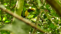 Sharp shot of chestnut mandibled toucan eating berry with bill