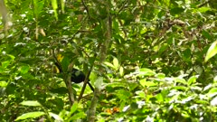 Tropical toucan bird hiding behind dense jungle leaves in Panama