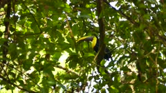 Chestnut mandibled toucan resting up a tree before taking off