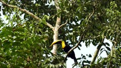 Striking toucan hopping up a tree with hundred ants carrying leaves