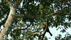 Chestnut-mandibled toucan hops away in mature tree