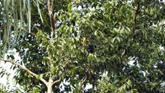 Chestnut mandibled toucan hopping behind dense tree leaves