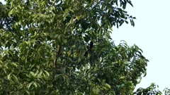 Toucan bird hopping within large broad leaf tree in Panama