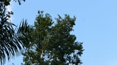 Wide shot of high tree with toucan atop of it on blue sky