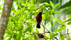 Pair of crimson backed tanager on blurry palm tree background