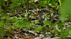 Striking colored prothonotary warbler on the jungle floor