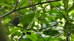 Blue-crowned manakin quickly flying back and forth to feed on fruit