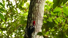 Crimson crested woodpecker exotic bird perched on trunk side