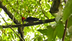 Large panamean woodpecker specie pecking on tree branch