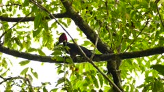 Woodpecker with large red crest pecks wood to find prey