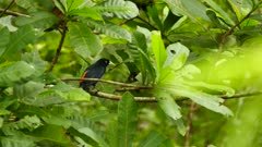 Scarlet-rumped Cacique tropical bird taking off from a branch