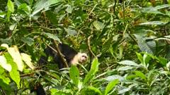White headed capuchin monkey in Panama peaking and fleeing