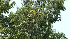 Chestnut-Mandibled Toucan up in Panamean tree - part 1 of 3