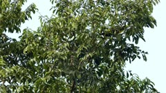 Chestnut-Mandibled Toucan up in Panamean tree - part 2 of 3