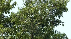 Chestnut-Mandibled Toucan up in Panamean tree - part 3 of 3