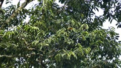 Exotic toucan foraging in broad-leaf tree in Panama - part 1 of 4
