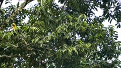 Exotic toucan foraging in broad-leaf tree in Panama - part 2 of 4