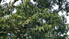 Exotic toucan foraging in broad-leaf tree in Panama - part 3 of 4