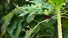 Crimson backed tanager on weird tropical plant in Panama