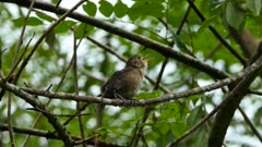 House wren (possibly) vocalising loudly on branch in Panama